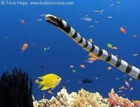Black-banded seasnake